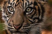Sumatran tiger Cub Close up
