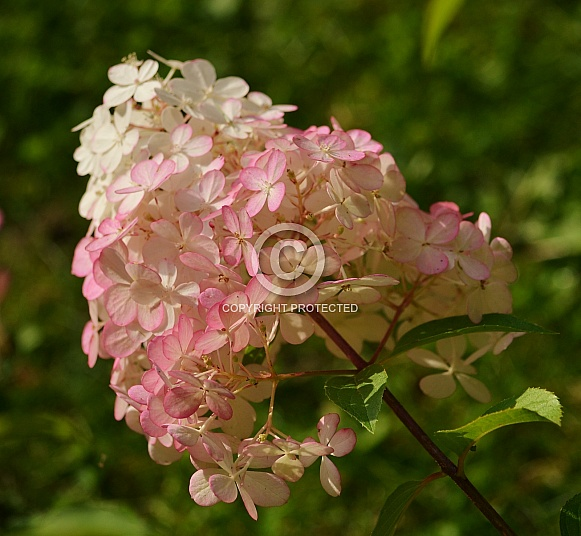 Strawberry Vanilla Hydrangea