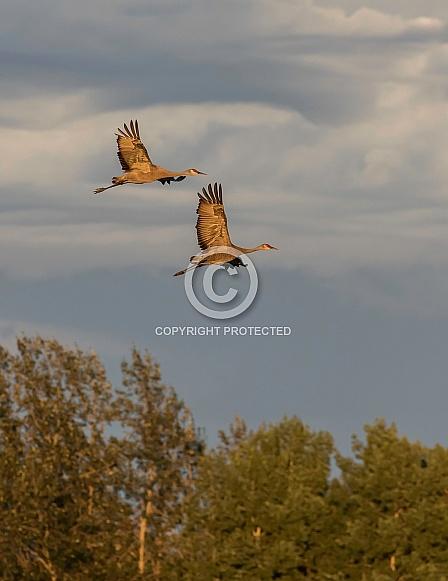 Sandhill Crane Pair Flying