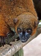Red bellied lemur (Eulemur rubriventer)