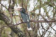 Silvery-cheeked Hornbill