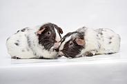 Dalmatian guinea pig