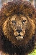 African Lion Walking Towards Camera