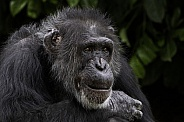 Chimpanzee Close Up Sitting Relaxed