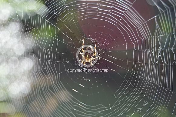 English Garden Spider