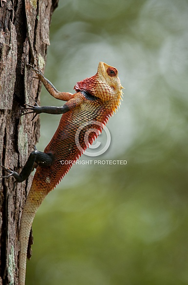 Common Garden Lizard