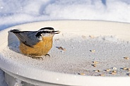 Red-breasted Nuthatch at the Feeder