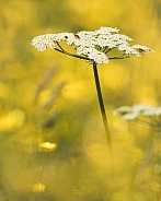 Wild Carrot in Buttercups