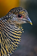 Female golden pheasant (dark)