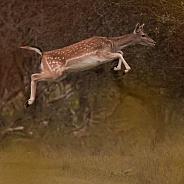 Fallow Deer Jump