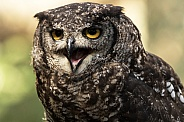 African Spotted Eagle Owl Face Shot Beak Open