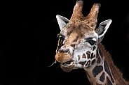 Giraffe Headshot Black Background