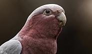 Galah Cockatoo Head Shot