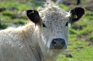 White Belted Galloway Cow