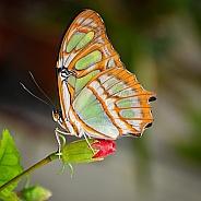 Butterfly - Malachite on Budding Flower