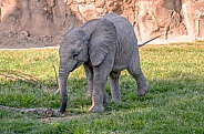 Elephant Calf - One Year Old