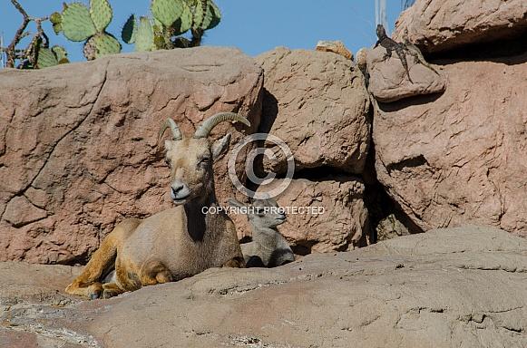 Bighorn Sheep - Ewe with Lamb