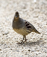 Gambel's quail in a stare down