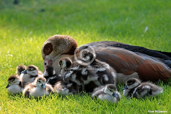Egyptian Nile Goose with Chicks