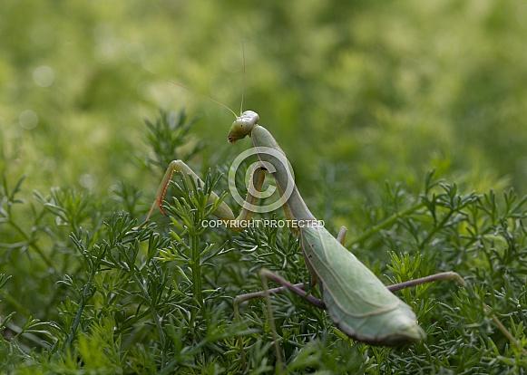 Praying mantis,Mantodea,
