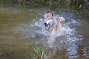 Tundra Wolf Splashing
