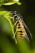 European Wasp.