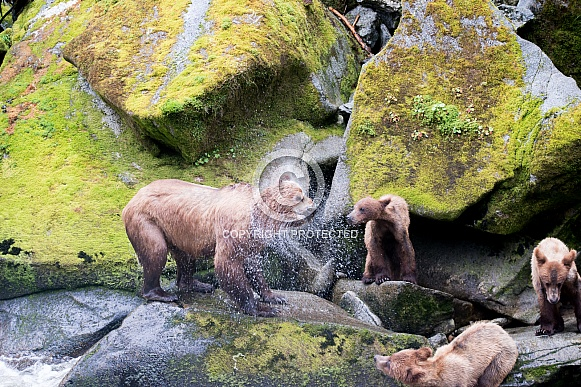 Wild Grizzly bear with triplet cubs