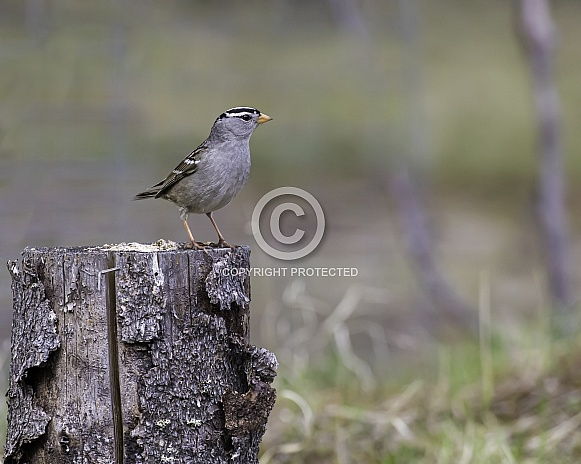 White-crowned Sparrow on a Stump