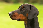 Black and Tan Doberman Pinscher
