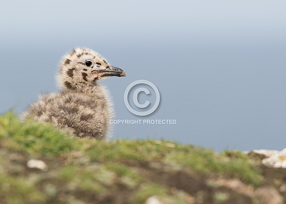 Great Black Backed Gull Chick
