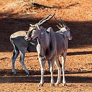 Eland Bulls