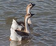 Swan Goose Pair in Utah