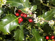 Holly berries and blossom 2