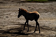 Zebra Foal Twilight