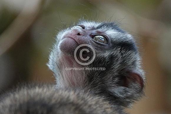 Gray-Bellied Night Monkey