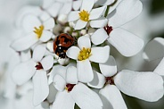 Ladybird on Candytuft.