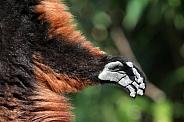 Red ruffed lemur