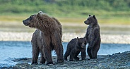 Wild Mother Brown Bear cubs in Alaska