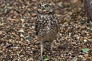 Burrowing Owl Standing Tall