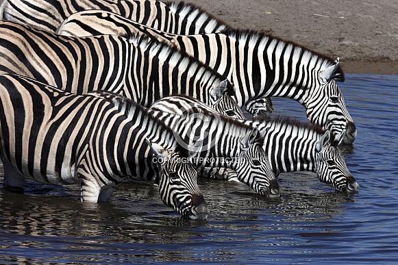 Planes Zebra (Equus quagga)