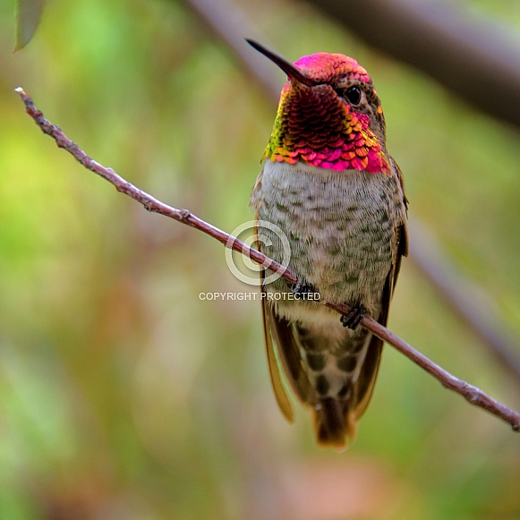 Hummingbird - Anna's