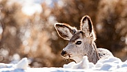 Wild young deer in the winter in Yellowstone National Park