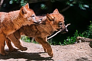 Pair of Wolf Cubs