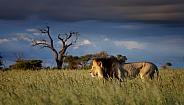 Male lion in Kgalagadi