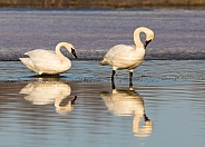 Trumpeter Swan Drinking Water in Alaska