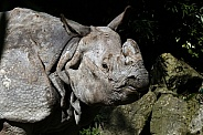 Indian Rhinoceros (Greater One-Horned Rhinoceros)