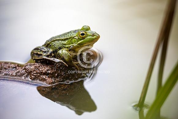 Pool frog (Pelophylax lessonae)