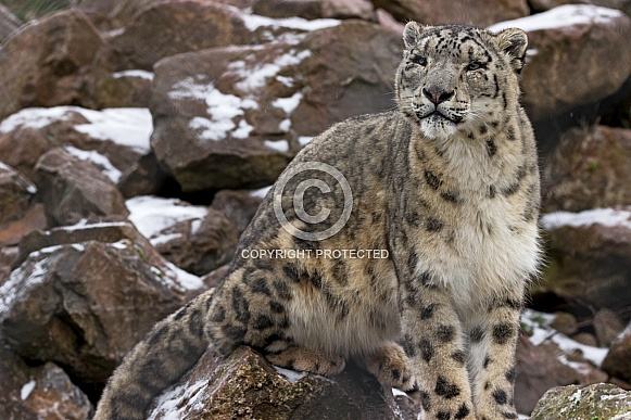 Snow Leopard on Snowy Rocks