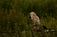 Barn owl from Behind