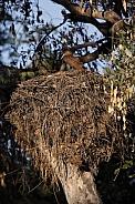 Hamercop (Scopus umbretta) on its nest - Botswana